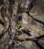 Savanna Sparrow, Moses Lake WA   4Z0481231004 copy.jpg