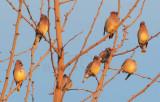 Cedar Waxwings, Yakima Arboretum  DPP_1042467.jpg