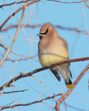 Cedar Waxwing in extreme cold  DPP_1042870.jpg