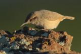 Rock Wren, with worm,  DPP_09225.jpg
