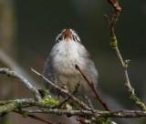 Bewick's Wren, singing, Seattle DPP_1025336.jpg
