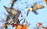 Cedar Waxwings, young bird chases away older bird Yakima DPP_1008498 - 2.jpg