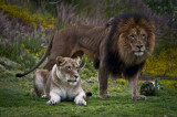 Frolicking Lions and Other Fun