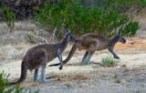 West Australian kangaroos