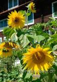Sonnenblumen (77554)