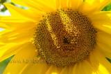 Sonnenblume (77558)