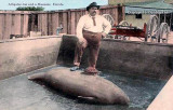 Early 1900's - Warren Frazier, better known as Alligator Joe, with a manatee in a pen