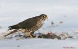 Faucon émerillon femelle -Merlin