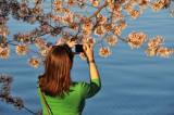 Cherry Blossoms in Washington, D.C. -- April 2009, Nikon D300