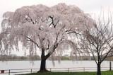 Cherry Blossoms in Washington, D.C. -- March 2008, Nikon D300