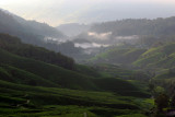 Cameron Highland tea estate.