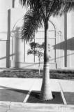 royal palm in the sidewalk