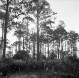 backlit pine flatwood