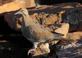 White-Winged Dove #7545