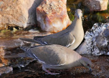 White-Winged Doves Drinking at the Waterfall #7837