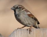 House Sparrow #7740