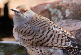 Northern Flicker (Female, Red-Shafted) #8399