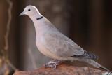 Eurasian Collared Dove #8671