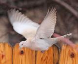 Eurasian Collared Dove #9340