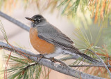 American Robin in White Pine Tree #9471