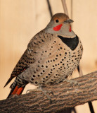 Red-Shafted Northern Flicker #9644