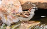House Sparrow #1121