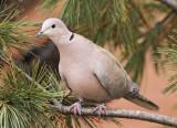 Eurasian Collared Dove #4080