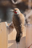 Red-Shafted Northern Flicker #6979