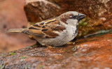 House Sparrow Drinking #7151