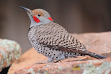 Intergrade Northern Flicker (Red-Shafted x Yellow-Shafted) #7400