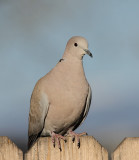 Eurasian Collared Dove #9977
