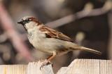 House Sparrow #0059