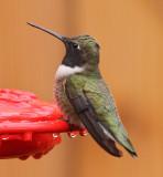 Black-chinned Hummingbird #0490
