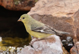 Lesser Goldfinch (Female) #0749