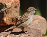 House Sparrow #4213