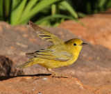 Yellow Warbler #5167