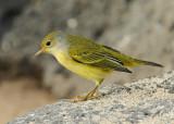 Yellow Warbler (Female, Galapagos) #5933