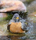 American Robin Bathing #9556