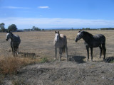 Horses in a drought ridden paddock