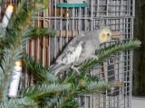 Pusser hjælper med at pynte juletræ