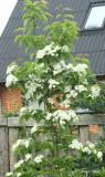 Sorbus alnifolia var. Submollis