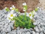 apiculata Alba