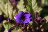 Blue Cowichans
