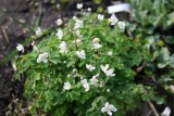 Isopyrum  talictroides cameo
