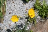 Ranunculus ilyricus