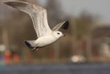 Common Gull 4