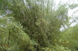 Bamboo at Argyle Waterfall - these bamboo are huge!
