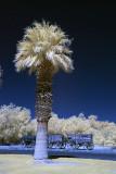 Furnace Creek palm.