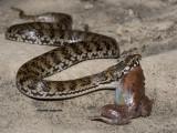 DeVis' Banded snake, Denisonia devisi