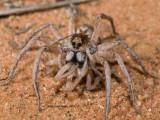 Arachnophage